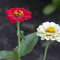 Красная и белая :: Любовь Потеряхина