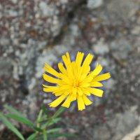 Цветок на скале :: Олег Попков