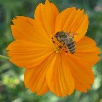 пчела на цветке :: valeriy khlopunov