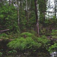 Болото в лесу. :: Екатерина Дроздова