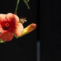 Пчела и цветок. :: Сергей Калиновский