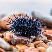 Морской ёж - Strongylocentrotus nudus Agassiz :: Александр Морозов