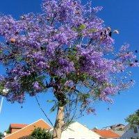 Жакаранда в цвету :: Герович Лилия