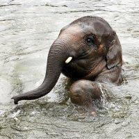 Слонёнок в воде :: Alexander