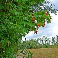 Ещё за окнами не плачет дождь.  Средь золота листвы вкрапленьем красным -  калина.... :: Galina Dzubina