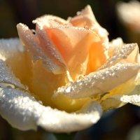 Цвет лепесточков умытый росой... :: Nina Streapan