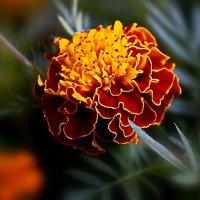 Осенние цветы-души очарованье... :: Любовь Чунарёва