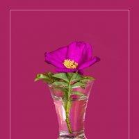 Цветок шиповника на розовом фоне :: Виталий