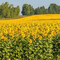 Цветущее поле :: Любовь Потеряхина