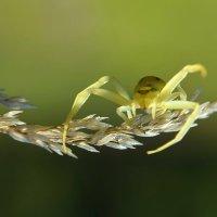 Цветочный  паук :: Геннадий С.
