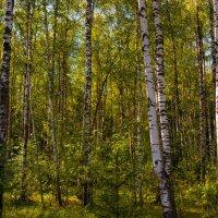 Вечерний лес :: Юрий