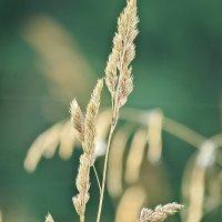 Во поле травинка стояла. :: Владимир Гилясев