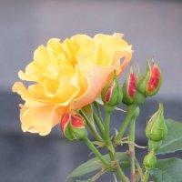 Чайная роза :: Ольга olga.puteshestvennik