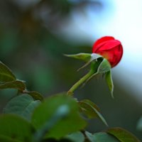 Rose :: Anna Stepanyuk
