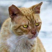Котяра в законе-из серии Кошки очарование мое! :: Shmual Hava Retro