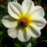 Цветок лета :: Елена Семигина