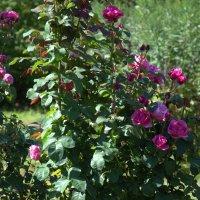 Розы августа. :: Елена