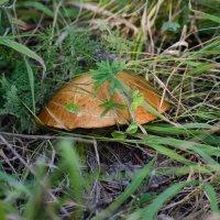 Ура, я гриб нашел! :: Сергей Щербаков
