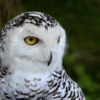 owl :: Irina Raizwoll