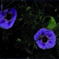 Мечты ипомеи :: Нина Корешкова