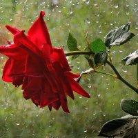 Я слышу шум дождя. Дождь с розой говорит... :: Павлова Татьяна Павлова