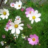 Радостные,летние космеи :: Елена Семигина