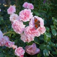 Бабочка и роза :: lenrouz