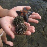 морские ежи и звезда :: doberman