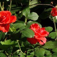 Городские розы в августе... :: Тамара (st.tamara)