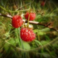 Лесная ягода :: Ирина Олехнович