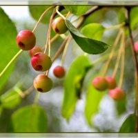 Яблочки амурские, наливные) :: Helen Helen