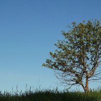 Дерево на косогоре. :: Владимир Гилясев
