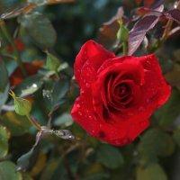розы :: OLGA