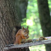 Белка песенки поёт, да орешки всё грызёт. :: Борис Митрохин
