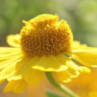 Солнечный цветок :: Alexander