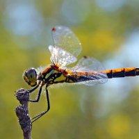 Оранжевая  стрекоза :: Геннадий Супрун
