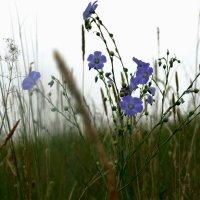 Цветы Хакасии :: Владимир Шустов