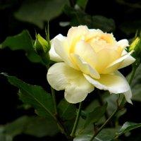 Городская роза. :: Елена
