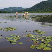 Среди нимфей-озеро Доингол (Манжерок) :: Наталия Григорьева