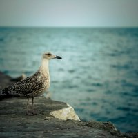 чайка :: Евгений Литвинов