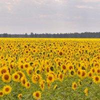 Солнечное поле :: Лидия Рьянова