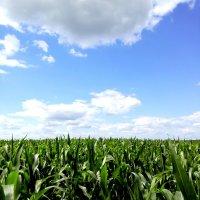 Кукурузные поля :: Алексей Симаков