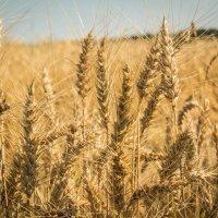 Хлебами лето отзвенело... :: Алла Кочергина