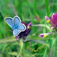 Голубянка- бабочка цвета неба :: Ольга Голубева