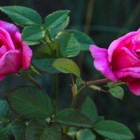 Цветение в саду :: И.В.К. ))