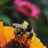 Пчелка :: Tracy McConell
