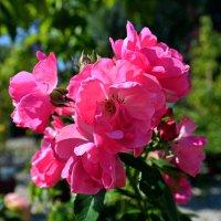 Розовая мелодия ... :: Владимир Икомацких