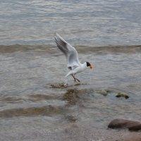 чайка :: Елена Фоменко