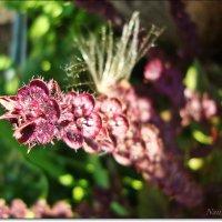 Базилик цветет :: Лидия (naum.lidiya)