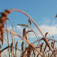 Пшеница :: Владимир Красевский